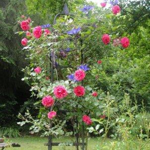 Rose:: Rosarium Uettersen / Clematis:: The President
